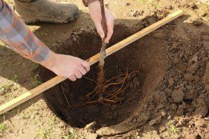 bareroot-planting